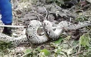 Enormous 100KILO python captured while laying eggs