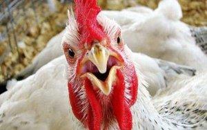 Обнародована статистика производства куриного мяса
