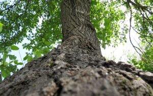 Срубленные тутовые ветви оценили в 1000 манатов – ФОТО